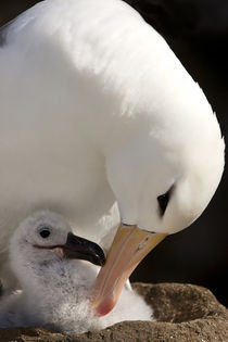 Close-up of black-browed albatross parent preening chick by Danita Delimont