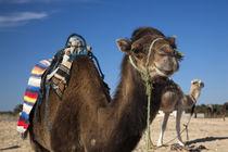 Camels by Danita Delimont