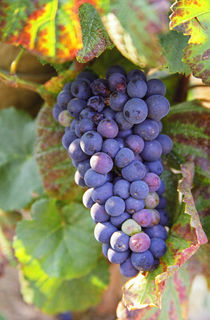 A bunch of Pinot Noir grapes in a Chambertin grand cru vineyard in Bourgogne by Danita Delimont