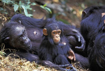 Gombe NP Female chimpanzee (Pan troglodytes) Fifi rests with grandson Fudge von Danita Delimont