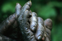 Male Chimpanzee clasps his foot von Danita Delimont