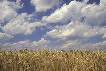Wheat crop and clouds by Danita Delimont