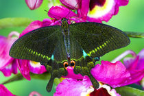 Washington Tropical Butterfly Photograph of Swallowtail Papilio paris the Peacock Swallowtail butterfly from China on Orchids by Danita Delimont
