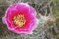 Desert Prickly Pear Cactus (Opuntia phaeacantha) von Danita Delimont