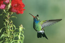 Broad-billed hummingbird male hovering by flower by Danita Delimont