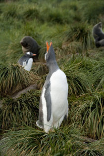 Gentoo penguin (Pygoscelis papua) on tussac grass with young Antarctic fur seals (Arctocephalus gazella) in distance von Danita Delimont