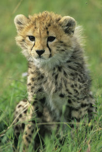 Portrait of a cheetah cub in the grass by Danita Delimont