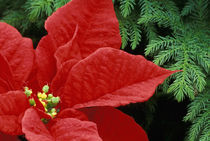Red Poinsettia and fir bow von Danita Delimont