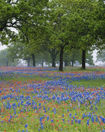 Texas Paintbrush and Bluebonnets beneath oak trees by Danita Delimont