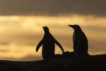 These penguins are resident and breed in the Falklands von Danita Delimont