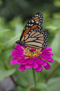 Monarch butterfly on Zinnia by Danita Delimont