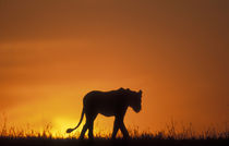 Silhouette of Lion (Panthera leo) walking across savanna at dawn by Danita Delimont