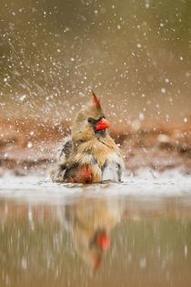 Northern Cardinal (Cardinalis cardinalis) female bathing by Danita Delimont