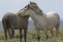 Wild horses nuzzling each other by Danita Delimont