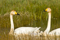 Whooper swan pair with cygnets in Iceland by Danita Delimont
