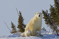 Polar bear cubs being protected by mother by Danita Delimont