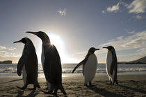 King Penguins (Aptenodytes patagonicus) along Cooper Bay at sunrise on summer morning by Danita Delimont