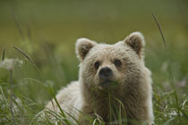 A yearling grizzly cub chews grasses in a meadow von Danita Delimont