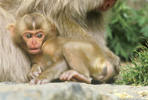 Snow Monkey Baby (Macaca fuscata) von Danita Delimont