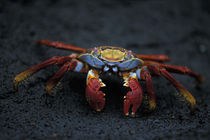 Sally Lightfoot Crab (Graspus graspus) scuttles across black lava rock on Floreana Island by Danita Delimont