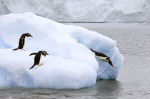 One gentoo penguin leaps onto iceberg while another dives into water by Danita Delimont
