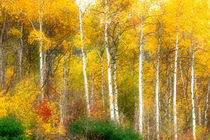 Fall Aspen Trees along Highway 2 by Danita Delimont