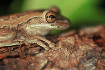 Cuban Tree Frog by Danita Delimont