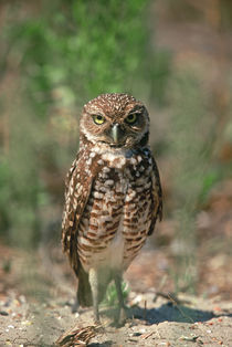 Burrowing Owl by Danita Delimont