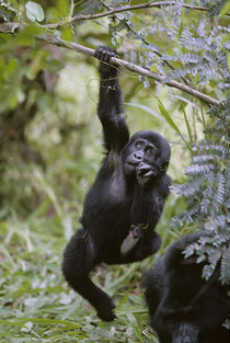 Juvenile Mountain Gorilla (Gorilla gorilla beringei) hanging from tree branch by Danita Delimont