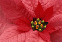 Red Poinsettia detail by Danita Delimont