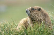 Olympic Marmot (Mormota olympus) von Danita Delimont