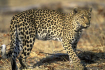 Adult Female Leopard (Panthera pardus) walking through dry mopane forest near Khwai River von Danita Delimont
