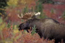 Denali National Park Bull moose in fall colors by Danita Delimont