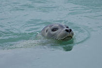 Harbor Seal swimming in Jokulsarlon glacial lake in southern Iceland by Danita Delimont