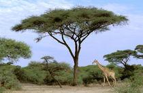 Southern Giraffe (Giraffa camelopardus) and acacia tree by Danita Delimont