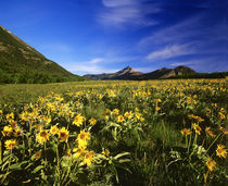 Arrowleaf balsomroot covers the praire with Galwey Mountain in background at Waterton Lakes National Park in Alberta Canada by Danita Delimont