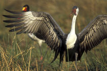 Wattled Crane (Bugeranus carunculatis) grooming in marsh near Xakanaxa at dawn von Danita Delimont