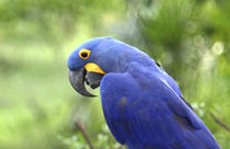 The endangered Hyacinth Macaw at home in the Pantanal by Danita Delimont