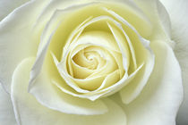 Close up details of white rose by Danita Delimont