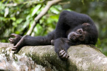 Young Chimpanzee (Pan troglodytes) resting on log in rainforest clearing by Danita Delimont