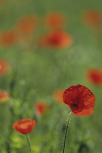 Red poppies in meadow von Danita Delimont
