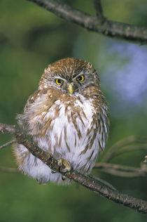 Juvenile Autral Pygmy Owl (Glaucidium nanum) by Danita Delimont