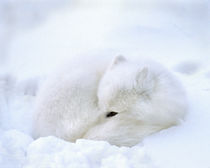 Artic fox with open black eye rests in a snowdrift by Danita Delimont
