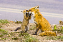 Red fox mother with playful kit von Danita Delimont