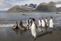 Antarctic Fur Seals (Arctocephalus gazella) and King Penguins (Aptenodytes patagonicus) in surf along Gold Harbour on late summer morning by Danita Delimont