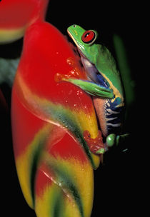 Red Eyed Tree Frog by Danita Delimont