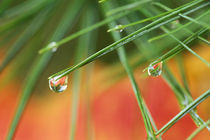 Pine tree needles with drops of rain and fall reflections by Danita Delimont