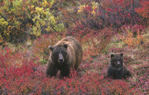 Grizzly bear (Ursus arctos) and cub in the fall von Danita Delimont