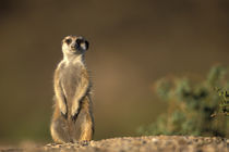 Meerkat (Suricate suricatta) stands as sentry by entrance to warren in Namib Desert von Danita Delimont