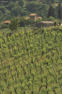 Grape vineyard; Tuscan villa; Greve in Chianti by Danita Delimont